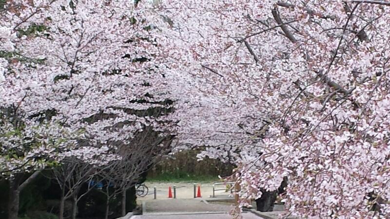水間寺の桜_f0330437_2321336.jpg