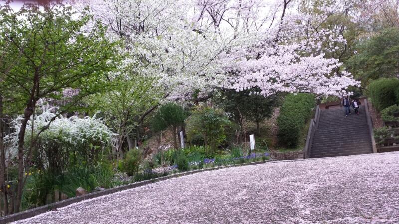 水間寺の桜_f0330437_2331931.jpg