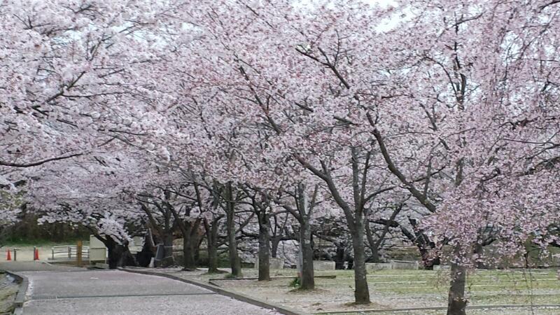 水間寺の桜_f0330437_2342759.jpg
