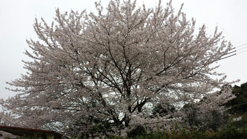 水間寺の桜_f0330437_238333.jpg