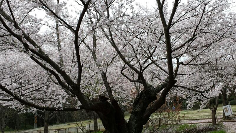 水間寺の桜_f0330437_2393718.jpg
