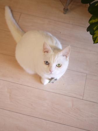 猫のお友だち リュウちゃんちびくんさくらちゃんチャイくん編。_a0143140_21563591.jpg