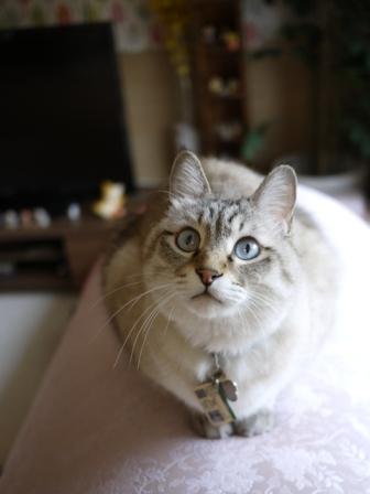 猫のお友だち リュウちゃんちびくんさくらちゃんチャイくん編。_a0143140_21565712.jpg