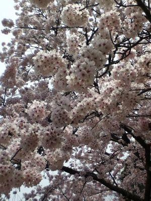 お花見(^_^)_a0111845_9415729.jpg
