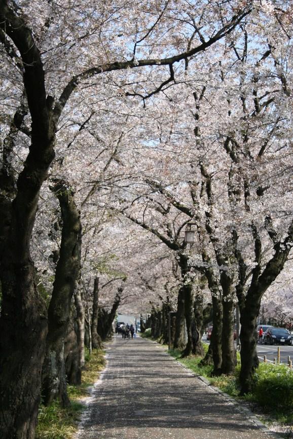 桜、ジューンベリー満開です_e0215179_18342039.jpg