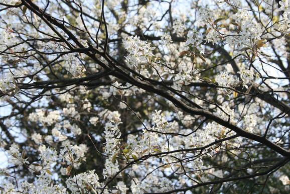 桜、ジューンベリー満開です_e0215179_18343416.jpg