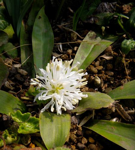 山野草の小さな花壇のショウジョウバカマ_a0136293_18595092.jpg