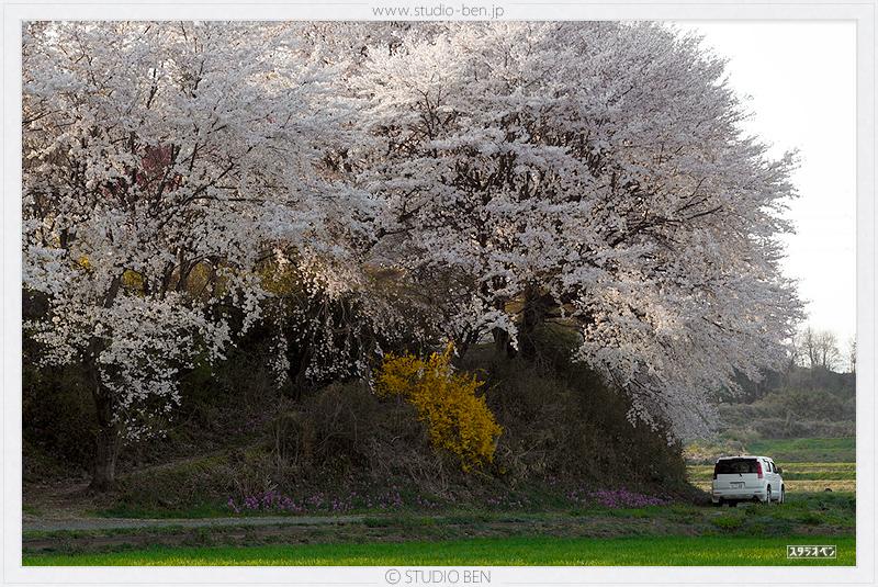 今年の桜 = 比較写真!_c0210599_1165555.jpg