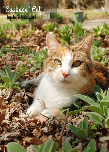 花壇のキャベツ猫_b0253205_4264568.jpg