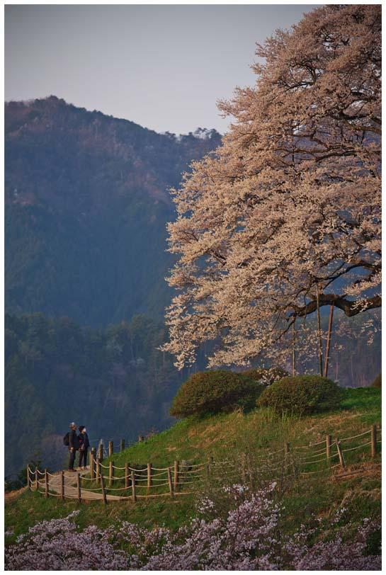 醍醐桜_d0272207_20265663.jpg