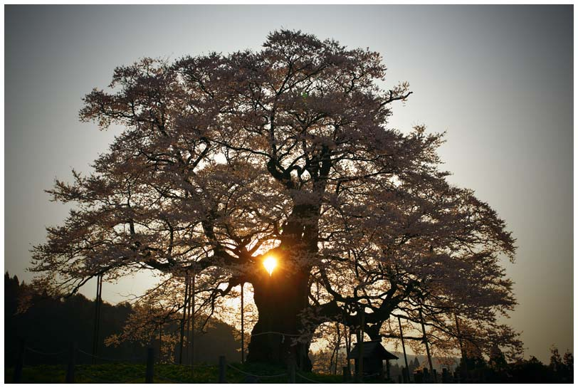 醍醐桜_d0272207_20271749.jpg