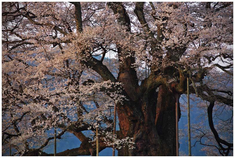 醍醐桜_d0272207_2027458.jpg