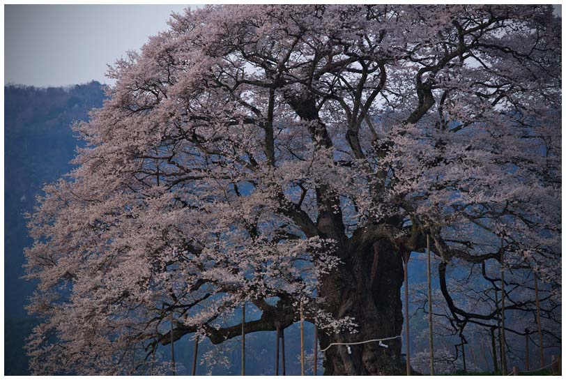 醍醐桜_d0272207_20275845.jpg