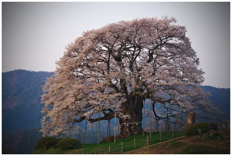 醍醐桜_d0272207_20474350.jpg