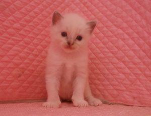 ラグドール赤ちゃん 3月16日生まれ 男の子Bくん_e0033609_12444540.jpg