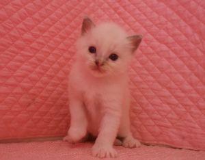 ラグドール赤ちゃん 3月16日生まれ 男の子Bくん_e0033609_12445355.jpg