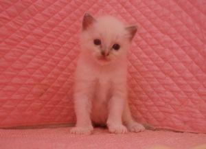 ラグドール赤ちゃん 3月16日生まれ 男の子Bくん_e0033609_1245239.jpg