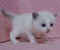 ラグドール赤ちゃん 2月3日生まれ 女の子A_e0033609_1310290.jpg