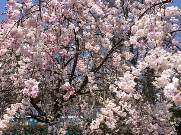 京都でお花見2014_e0292546_0341047.jpg