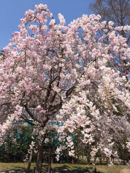 京都でお花見2014_e0292546_0341291.jpg