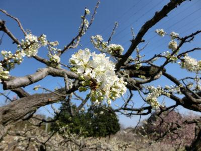 新府の桃は4分咲き_f0019247_22543812.jpg