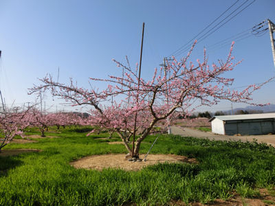 新府の桃は4分咲き_f0019247_2257214.jpg