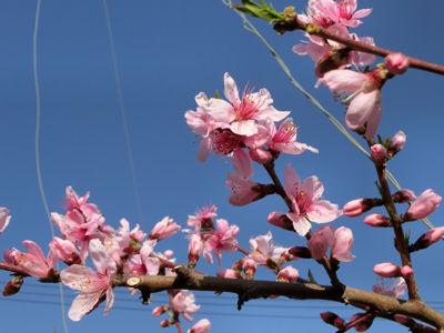 新府の桃は4分咲き_f0019247_23203631.jpg