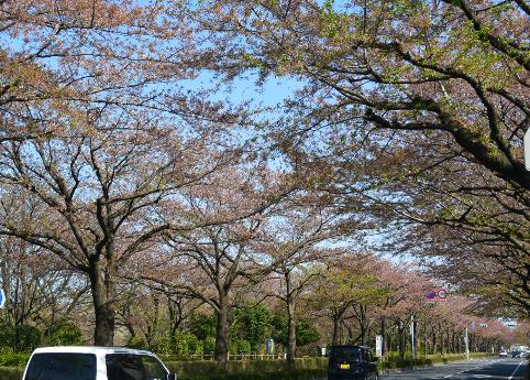 桜並木も_b0115553_15304758.png