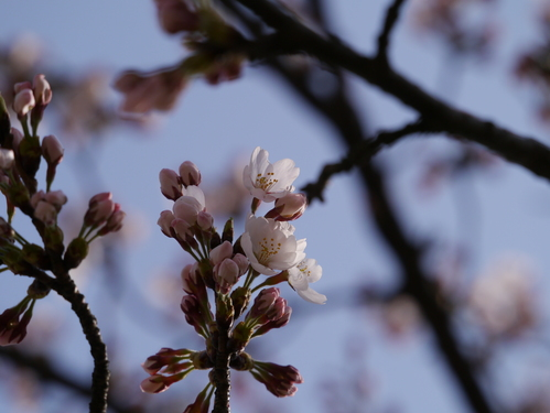 sakura開花したようです!_e0266363_17442874.jpg