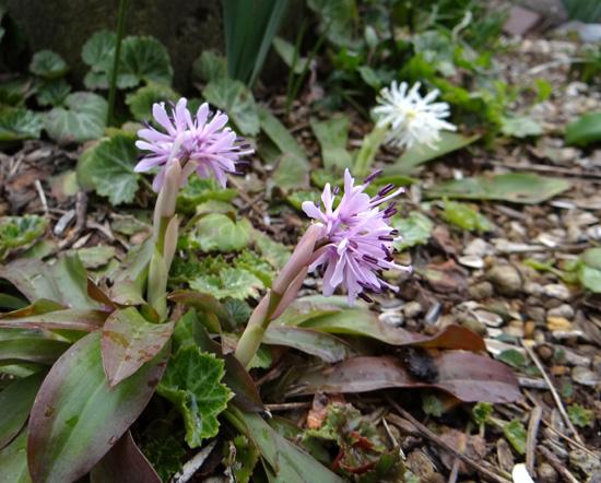 山野草の小さな花壇のショウジョウバカマ_a0136293_16182949.jpg