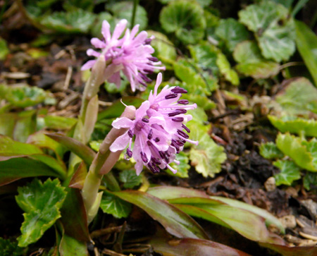 山野草の小さな花壇のショウジョウバカマ_a0136293_16205565.jpg