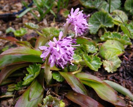 山野草の小さな花壇のショウジョウバカマ_a0136293_1623354.jpg