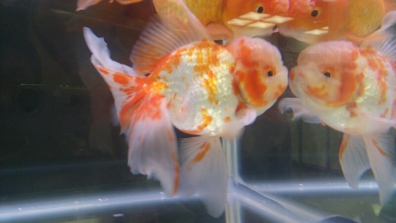 観賞魚フェア(2014)_b0298605_17403539.jpg