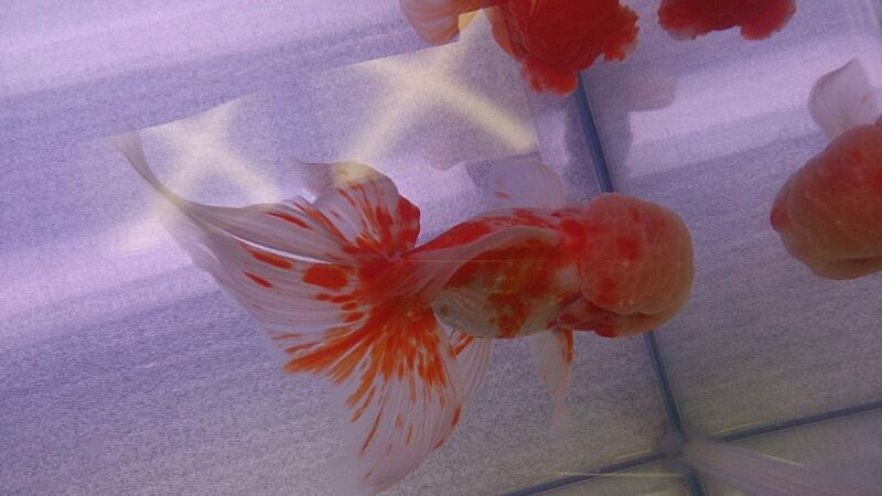 観賞魚フェア(2014)_b0298605_17405135.jpg