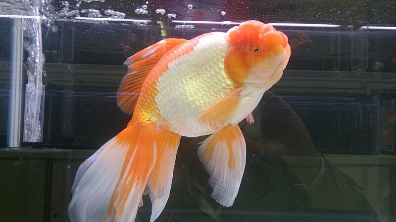 観賞魚フェア(2014)_b0298605_17482813.jpg