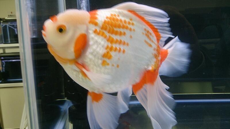 観賞魚フェア(2014)_b0298605_17485828.jpg