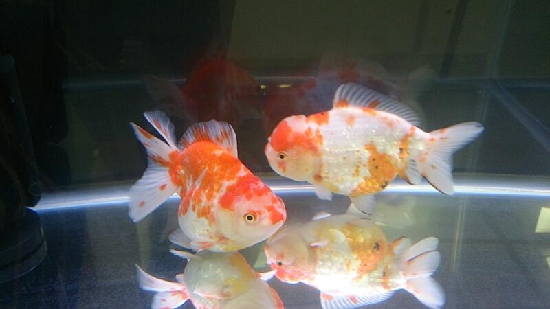 観賞魚フェア(2014)_b0298605_17492059.jpg
