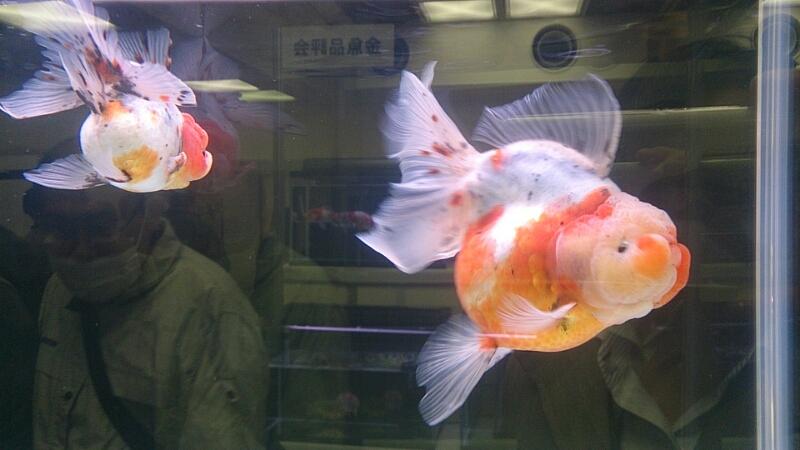 観賞魚フェア(2014)_b0298605_17495948.jpg