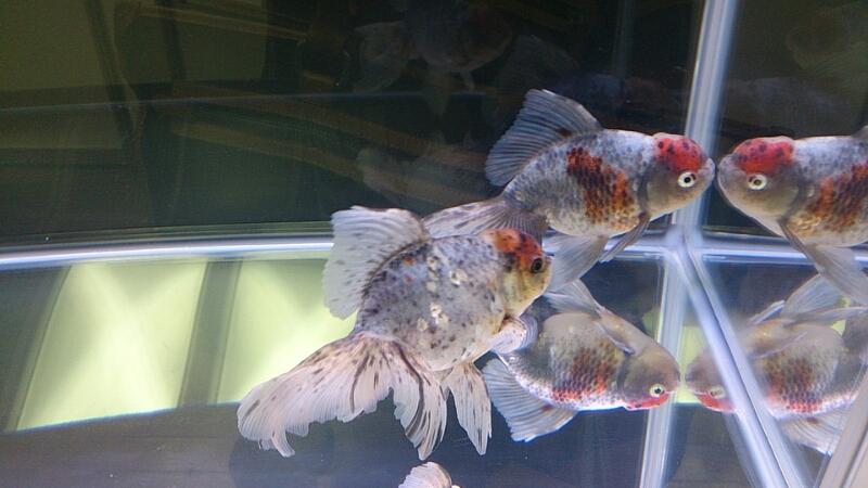 観賞魚フェア(2014)_b0298605_17513567.jpg