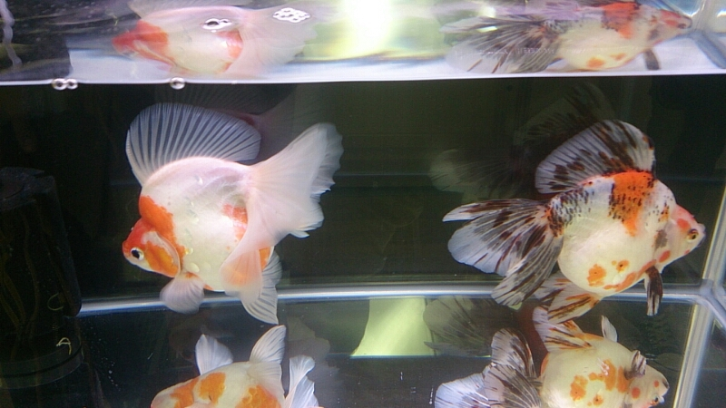 観賞魚フェア(2014)_b0298605_17533942.jpg