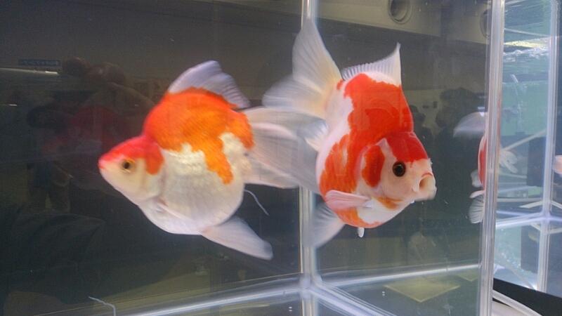 観賞魚フェア(2014)_b0298605_17542914.jpg