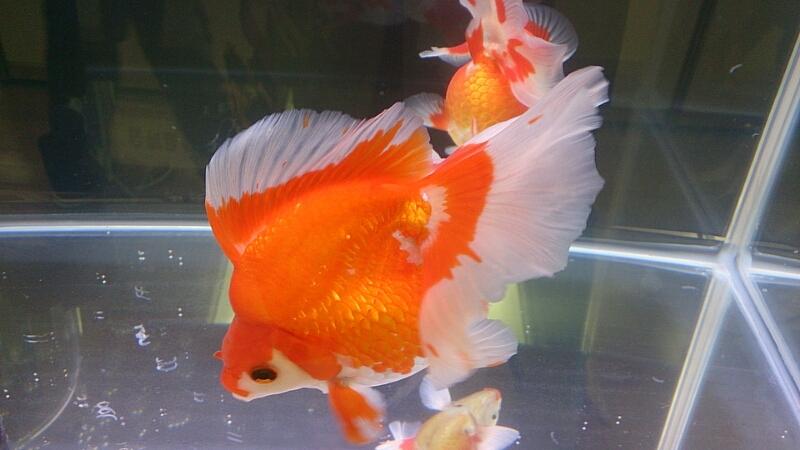 観賞魚フェア(2014)_b0298605_17545339.jpg