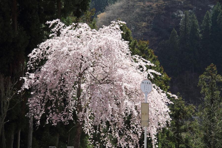 桜咲くバス停  _b0190710_21284959.jpg