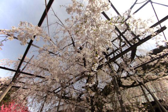 瑞龍寺のしだれ桜_a0020615_19283301.jpg
