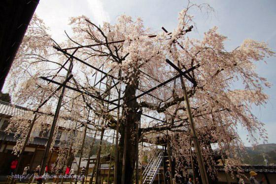 瑞龍寺のしだれ桜_a0020615_19283868.jpg