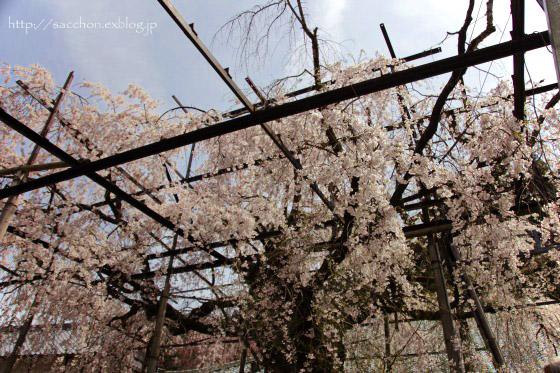 瑞龍寺のしだれ桜_a0020615_19284362.jpg