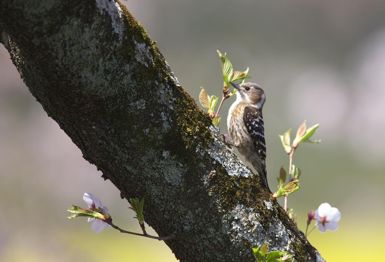 桜コゲラ_f0288418_846971.jpg