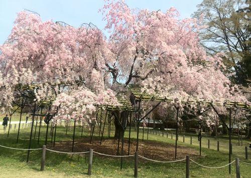 枝垂れ桜_d0010720_2140296.jpg