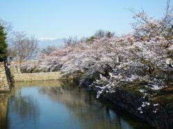 松本城-桜開花_c0094442_1194569.jpg