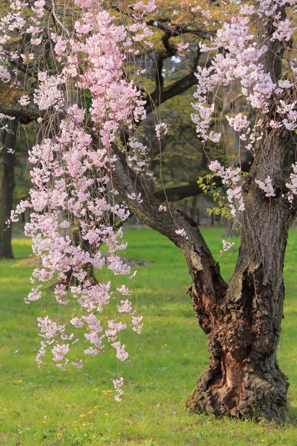 桜 2014 京都<二条城>                     _f0021869_23302193.jpg